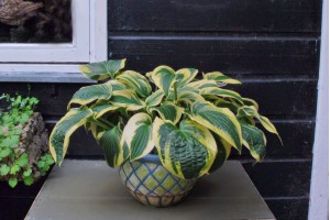 Hosta 'Wide Brim' - BIO
