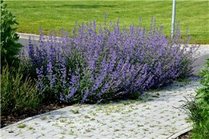Nepeta Walkers Low - BIO